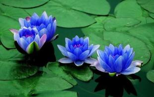 Blue Lotus flowers