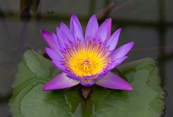 The symbolism of the beautiful lotus the goldylocks zone purple lotus blue lotus flowers mightylinksfo