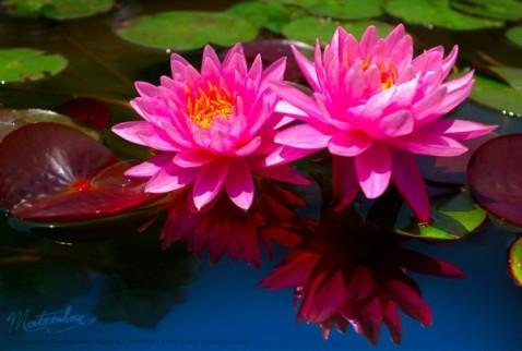Two pink lotus