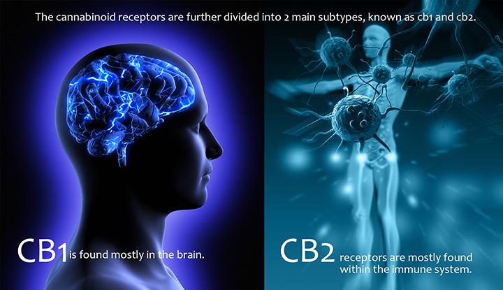 CB Receptors2